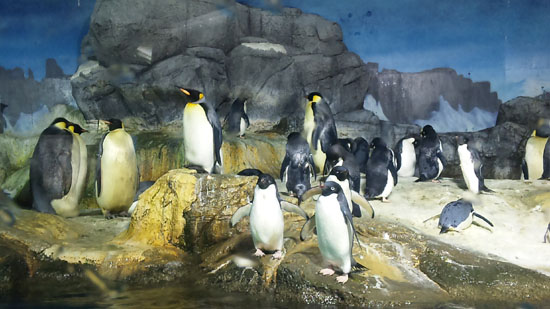 こやじの大好きなペンギンたち。泳いでる(飛んでる)時と陸上でのギャップが大好き。その身体の形も。
