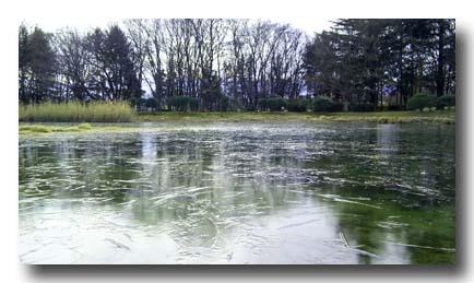 池は凍ってます。