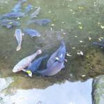 高千穂峡の生け簀の鯉