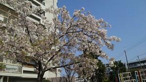 地元の桜2