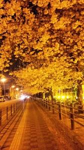 地元の駅近く。桜のトンネル