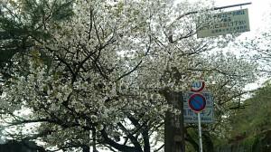 高島町最北端、琵琶湖沿いの桜
