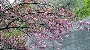 高島、琵琶湖沿いの桜