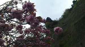 高島、琵琶湖沿いの桜2