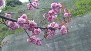 高島、琵琶湖沿いの桜3