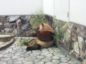 もたれてうたた寝パンダ