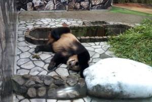 思いっきり寝てますパンダ
