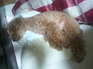 自分の布団でクーが寝てたので