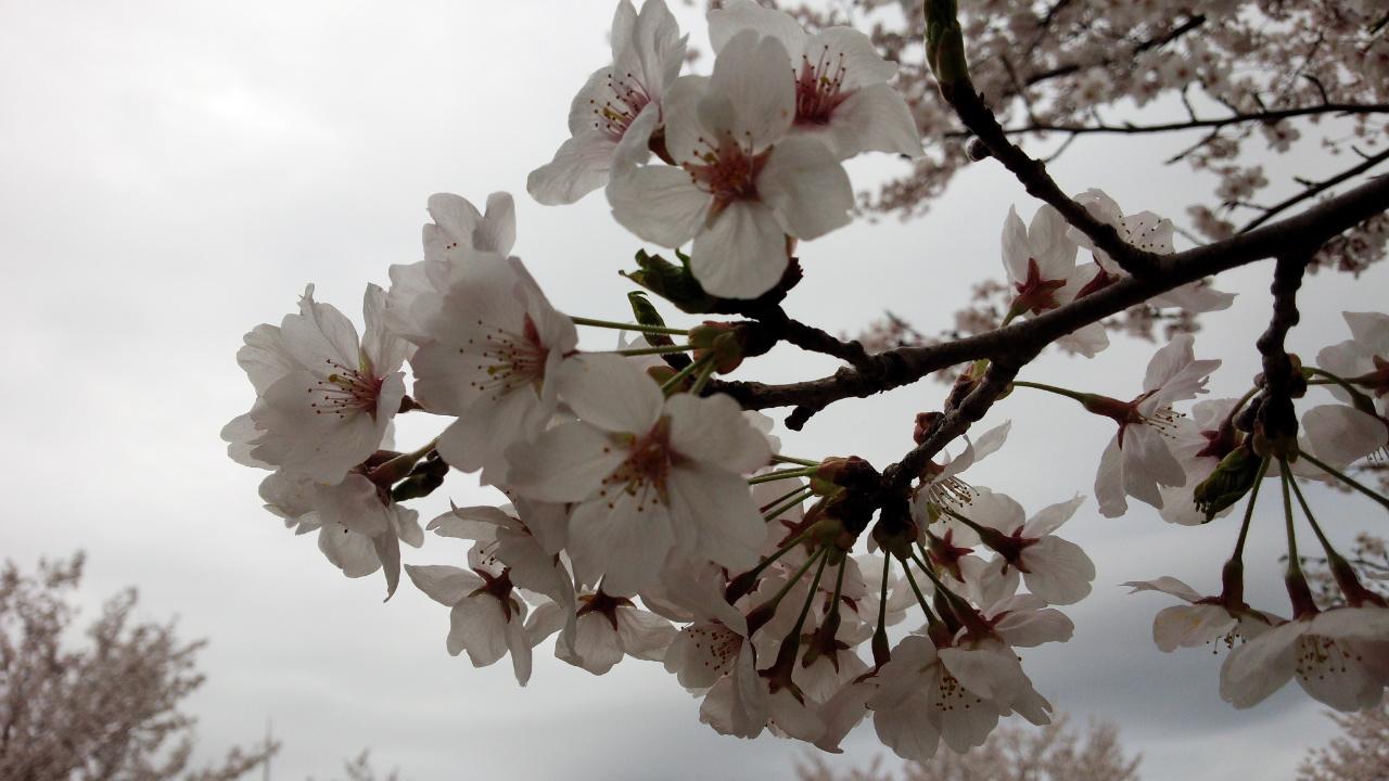 家族で一庫(ひとくら)ダム公園に花見